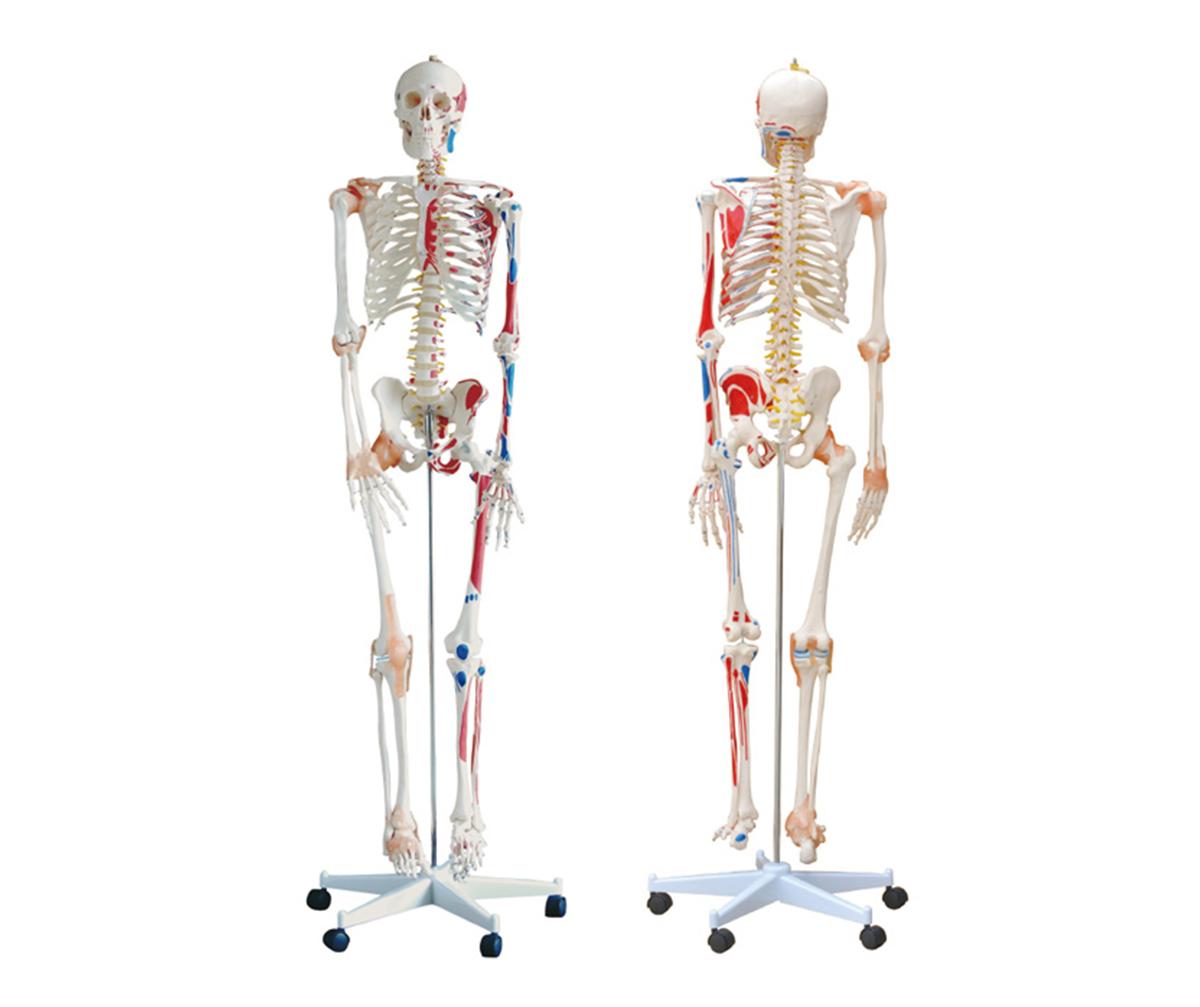 HD/11102-1 全身骨骼半边肌肉着色附韧带万博手机登陆官网