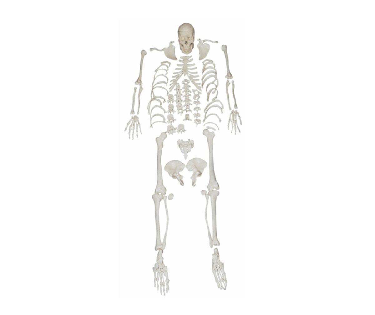 HD/11103 人体骨骼散骨万博手机登陆官网(游离骨)