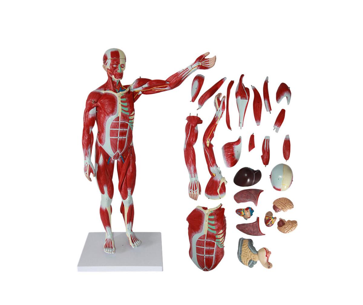 HD/11301-1 人体全身肌肉附内脏万博手机登陆官网