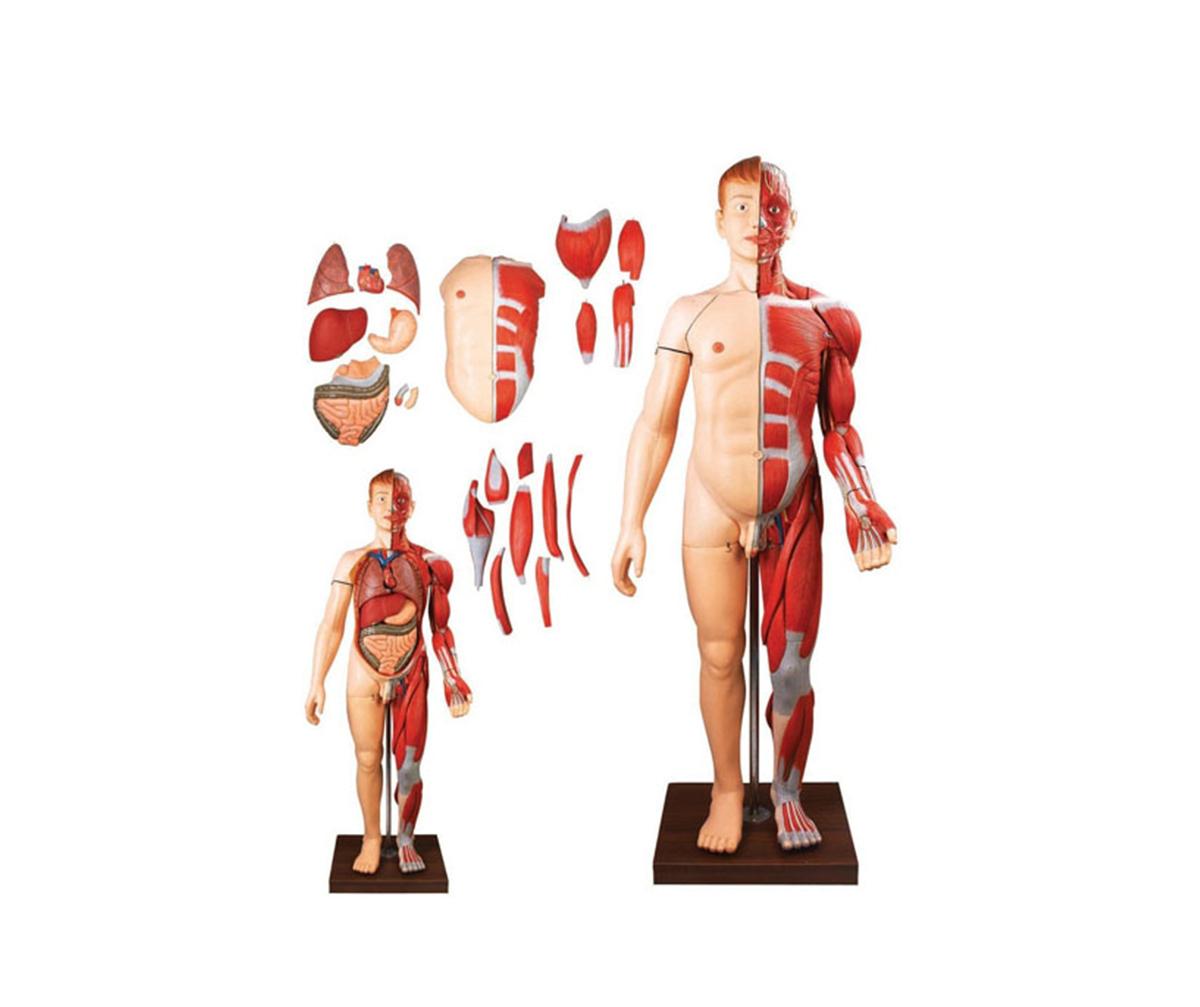 HD/10001-2 人体全身层次解剖附内脏万博手机登陆官网