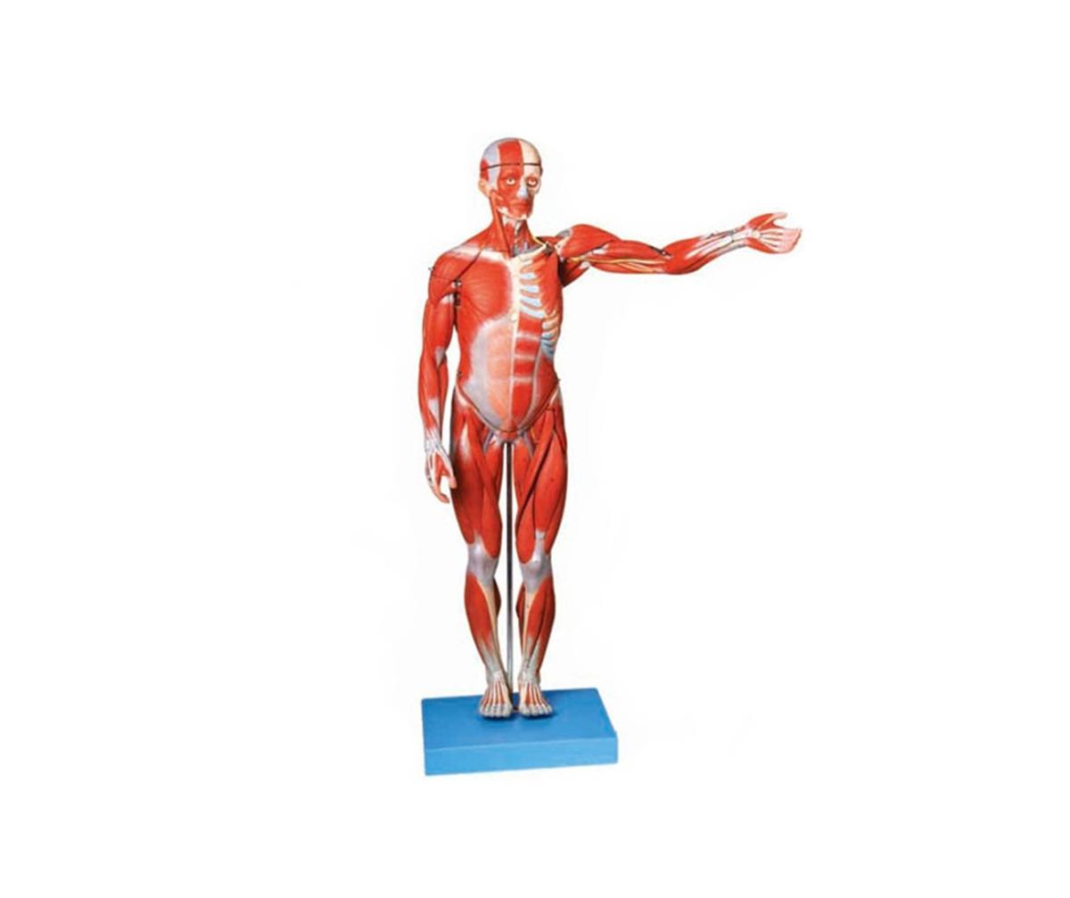 HD/11302-2 人体全身肌肉解剖万博手机登陆官网