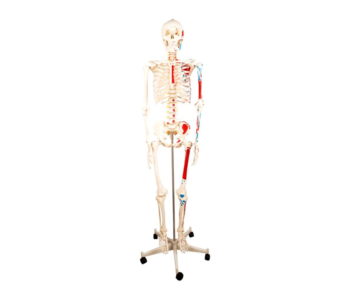 HD/11102-2 全身骨骼半边肌肉着色万博手机登陆官网