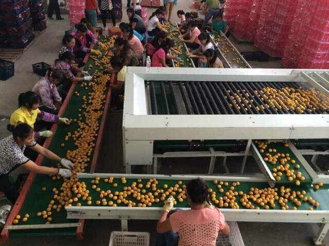 带叶果加工生产线生产现场